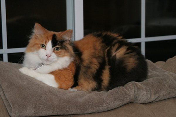 White Haired Calico Cat