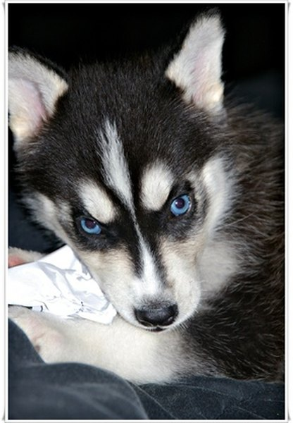A husky puppy eye's can be blue, brown or shades in between.