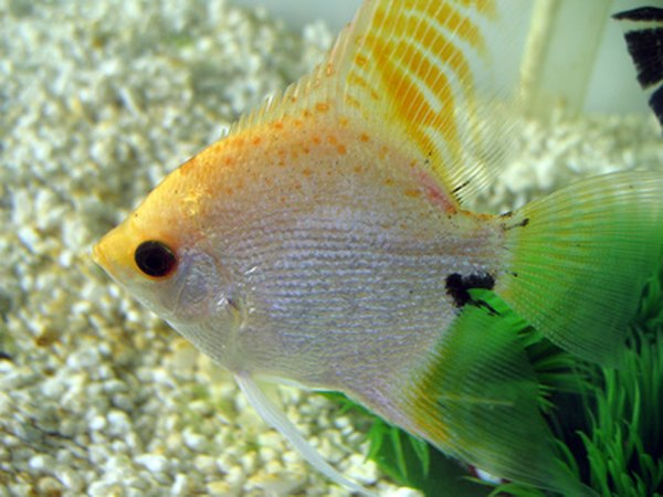 Goldfish are generally peaceful and can live in large groups. Although angelfish can be housed with other angelfish, they tend to be aggressive. They are extremely likely to prey on goldfish. Thus, even if it were possible to safely house angelfish and goldfish in the same temperature water, the angelfish would be likely to prey upon the goldfish.