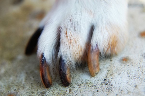 How To Grow An Injured Dog S Nails Long Amp Strong Dog