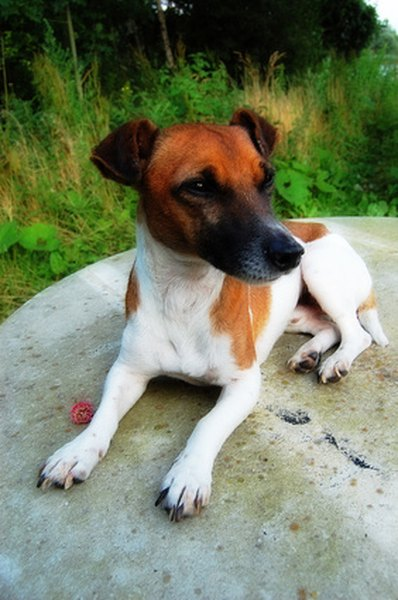 Teach your Jack Russell terrier to chase squirrels off your property.