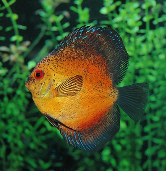 How to feed a discus fish pets for How to feed fish
