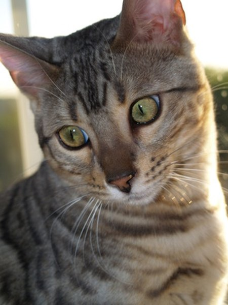 Bengal cats health issues