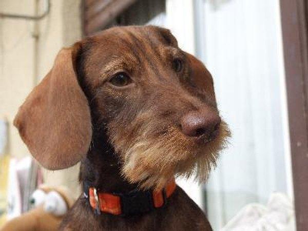 Wiener Dogs As Pets
