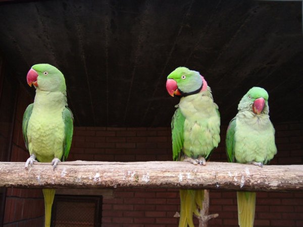 How much time an Indian ringneck parrot takes to speak or ...