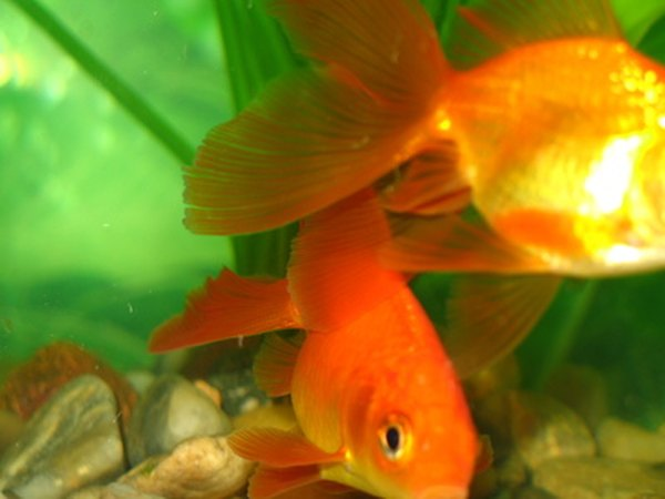 How to get a fishy smell out of a new goldfish aquarium pets for Fish tank stinks