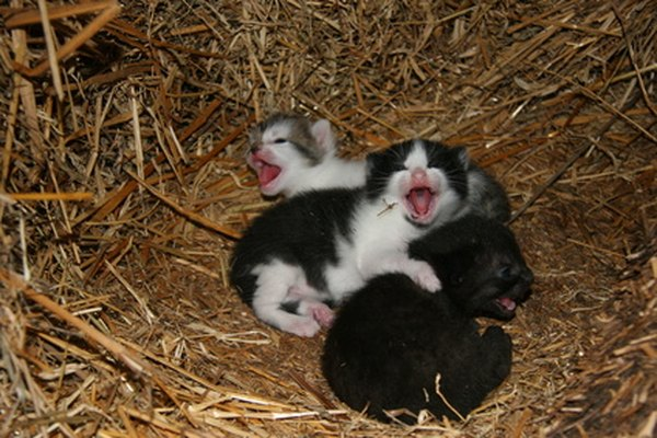 How to Take Care of Premature Newborn Kittens - Pets