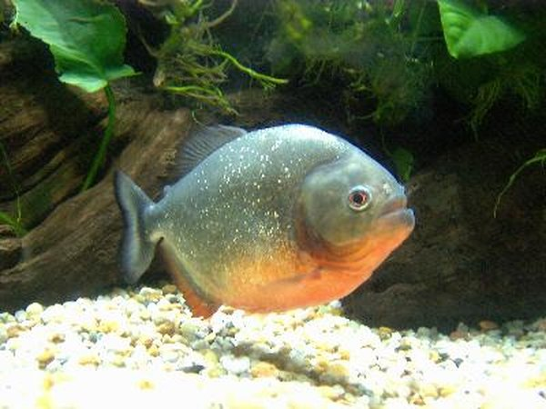 Pacus, particularly red-bellied pacus are often mistaken for piranhas.