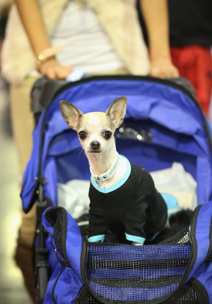 A pet stroller allows an injured dog to enjoy a regular walk and keeps depression at bay.