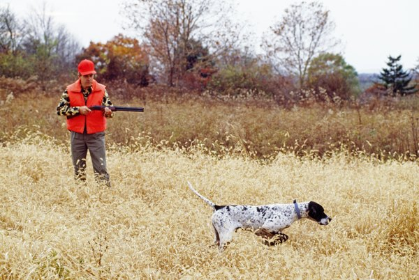 German shorthaired and English pointers are an asset to hunters.
