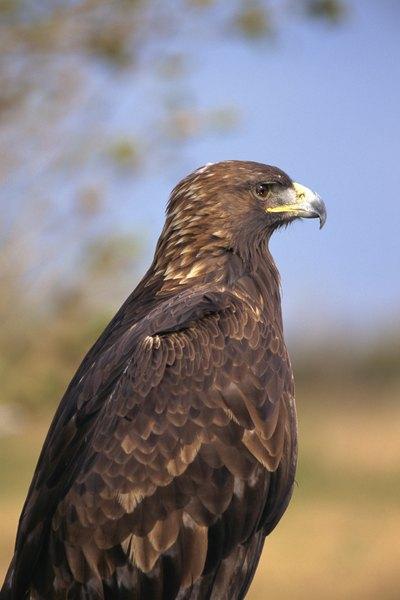Gold eagle animal - photo#10