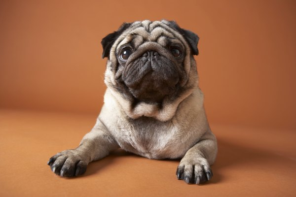 The structure of the pug's face makes reverse sneezing common.