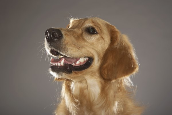 Your dog's teeth should be white and shiny from tip to gumline, all the way to the back of his mouth.
