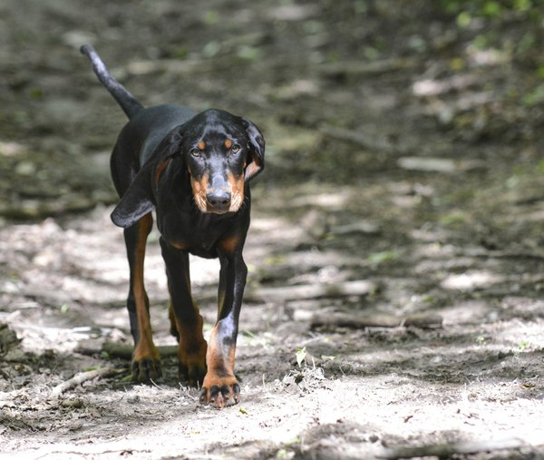 Despite the name, coonhound paralysis isn't limited to coonhounds, though hunting dogs may be more at risk for exposure.