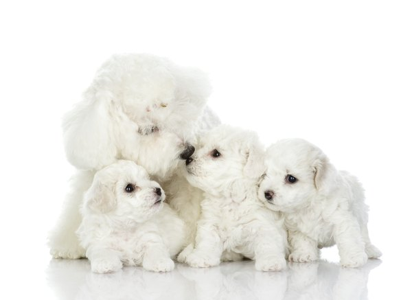 This bichon mama had an average number of puppies.