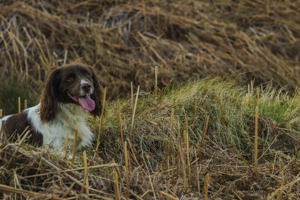 Springer spaniels are known for their hunting prowess.