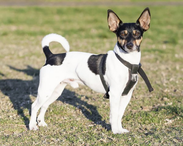 The rat terrier carries a great deal of fox terrier in his lineage.