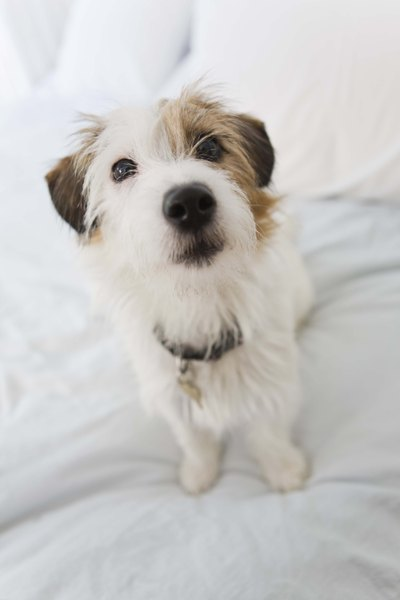 How to Groom a Wire-Haired Parson Russell Terrier? - Pets