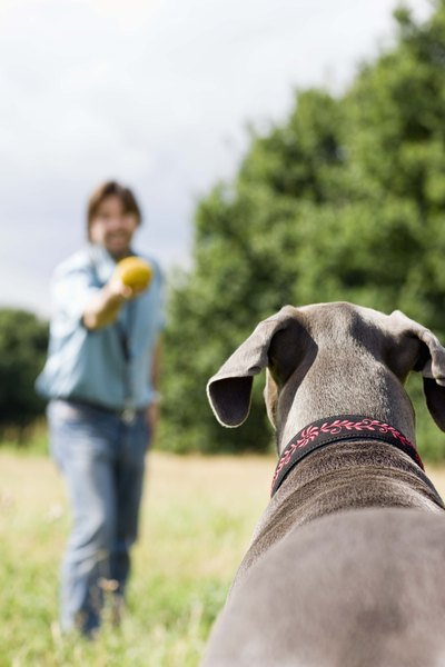 Playing fetch can cause re-injury to the ACL after surgical repair.