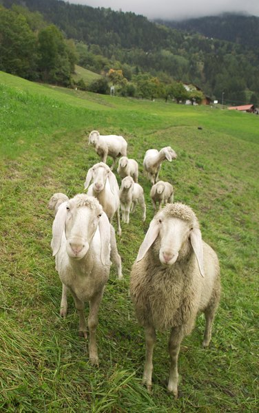 Livestock guardian dogs protect livestock such as goats.