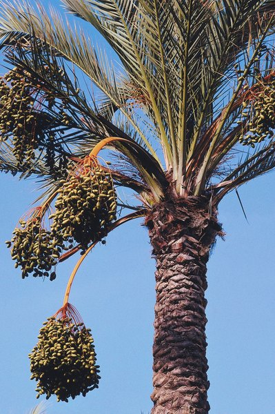 What Palm Has Three Trunks Home Guides Sf Gate
