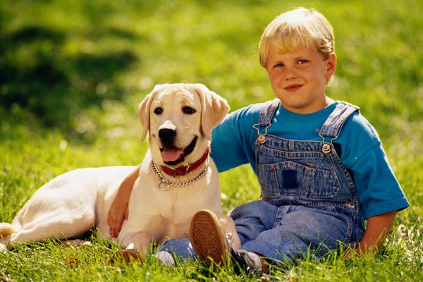 The Labrador retriever's popularity as a family dog is reflected in AKC registration statistics.