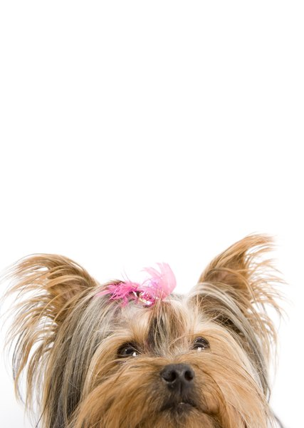 Morkie, malkie and yorktese - are all nicknames for the Maltese and Yorkshire terrier cross.