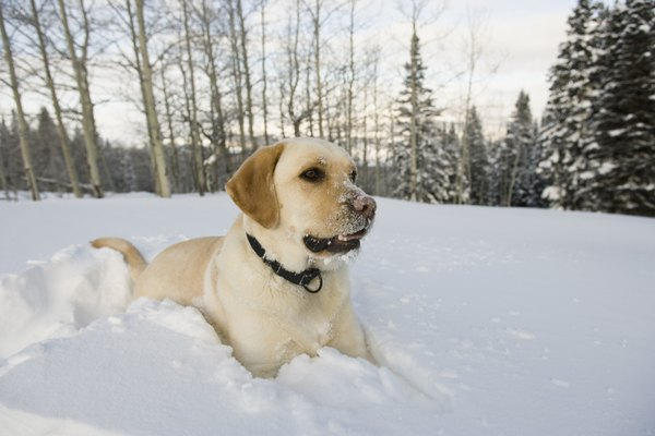 Shoes can help protect dogs' paws during winter.