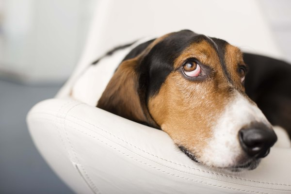 Basset hounds are a low-energy companions.