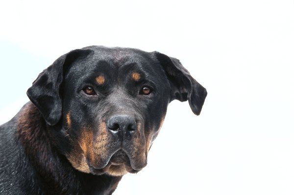 Rottweilers are more susceptible to parvo than many other breeds.
