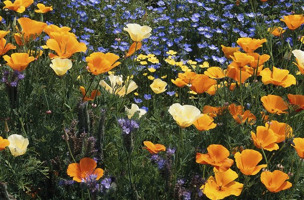 Keep California poppies off Sparky's munchies list for good measure.