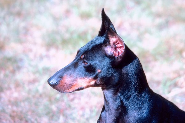 Standard Manchester terriers are shown with naturally erect, cropped or button ears.