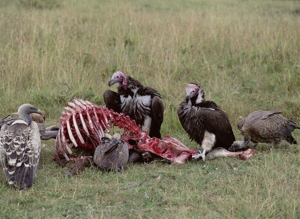 Do Turkey Vultures Eat Cats
