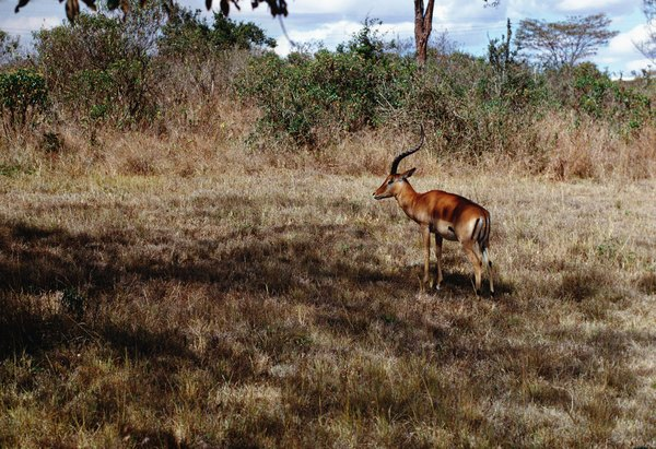 African Boy Names: Names Of African Gazelles