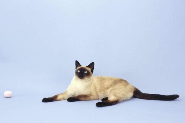 Types Of Siamese Cats With Pictures