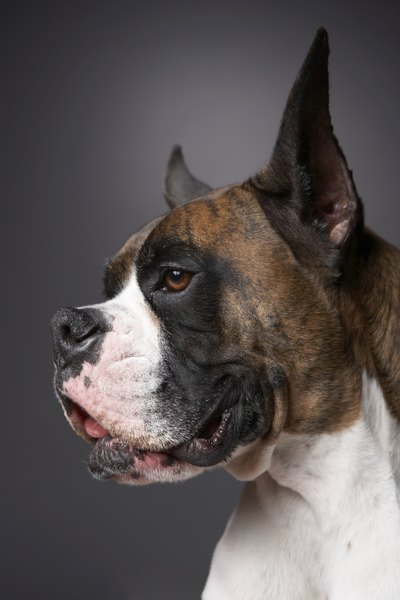 Boxers commonly show brindling and reverse brindling coat colors.