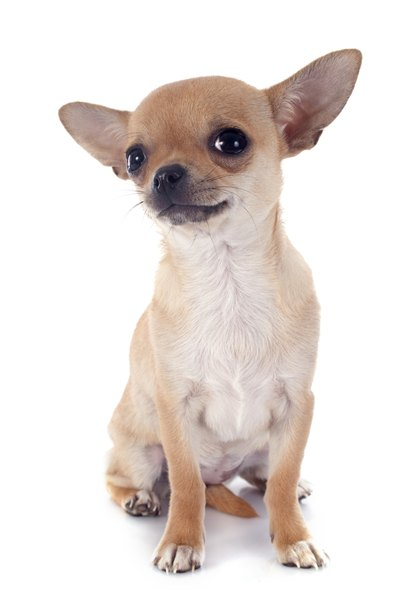 The Chihuahua's small size makes him vulnerable to injury.