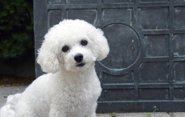 how to care for the coat of a bichon frise dog care
