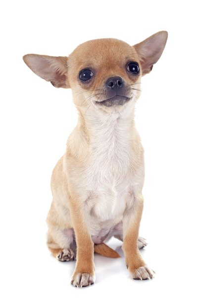 The tiny Chihuahua delivers big on voice, spunk and devotion.