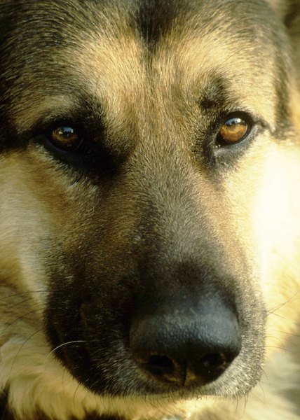 In the United Kingdom, German shepherds are often referred to as Alsatians.