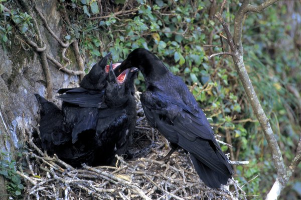 What Kind Of Nests Do Crows Make Animals