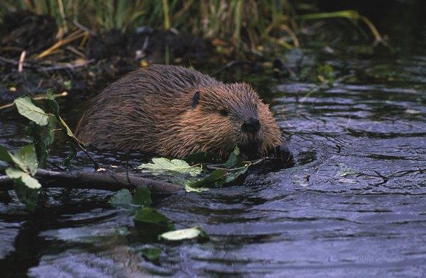 What kind of habitat do beavers live in animals for Castor habitat