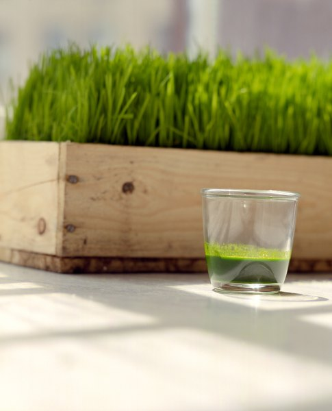If your dog shows no interest in dining on the foliage, wheatgrass can be given in liquid or powder form.