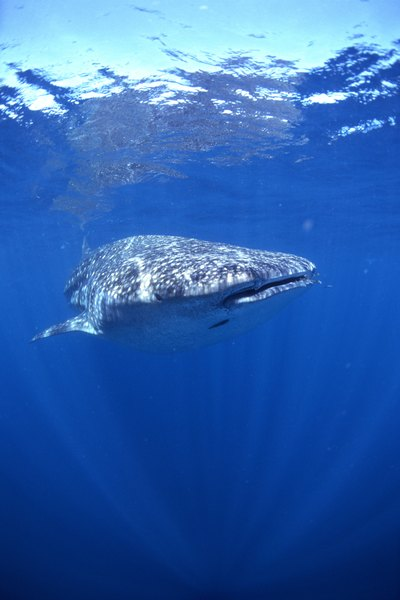 How Do Whales Have Babies? - whalefacts.org
