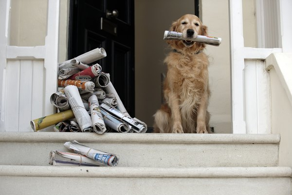 Golden retrievers love to learn new jobs around the house.