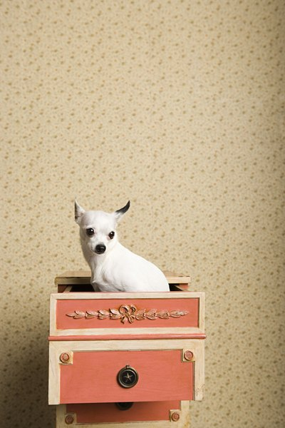 Chihuahuas may grow up to 6 pounds regardless of size labels.