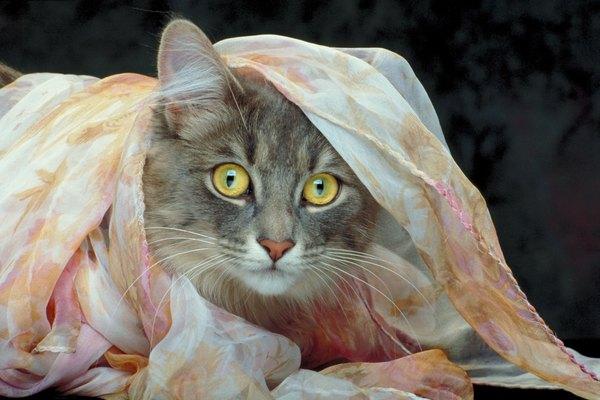 Bengal cat silent meow