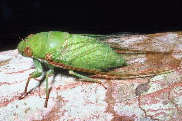 cicada eggs - photo #28