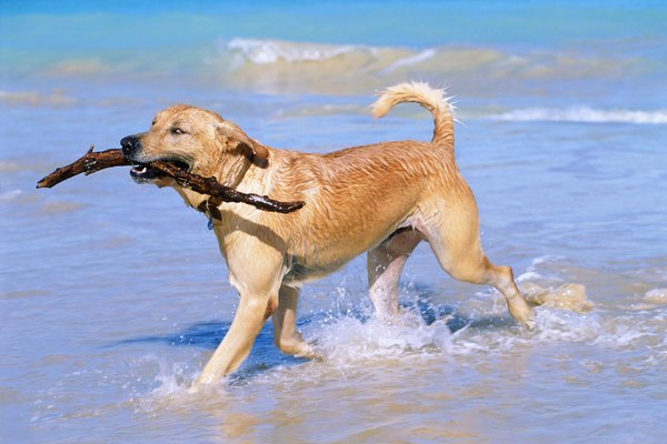 The Labrador retriever's otterlike tail works with his webbed toes to help him swim faster.