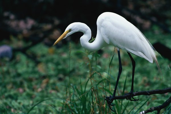 the introduction of a white heron Definition of a white heron by sarah orne jewett, 1886 – our online dictionary has a white heron by sarah orne jewett, 1886 information from reference guide to.